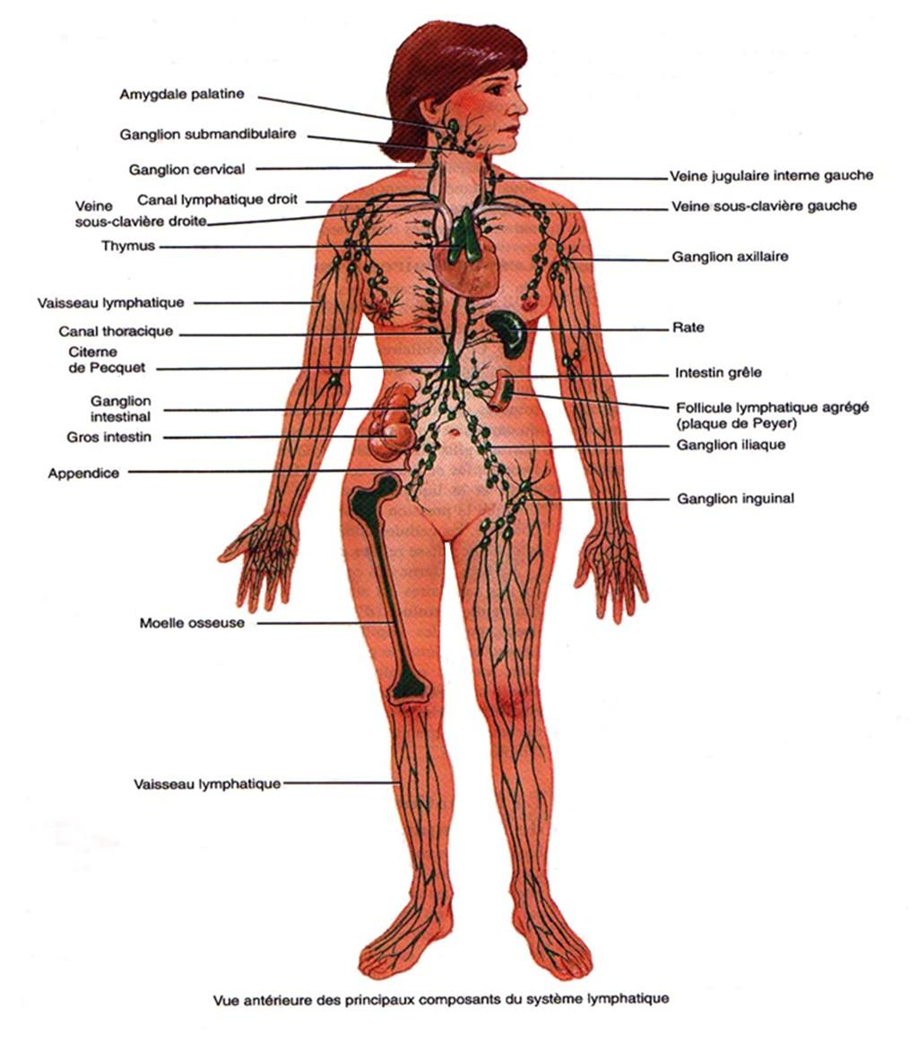 Schéma du système lymphatique